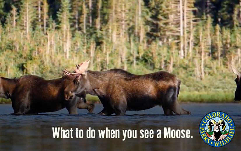 What to do when you see a Moose.